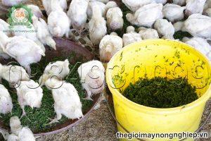 Hướng dẫn chi tiết cách chế biến thức ăn cho gà từ bèo tây