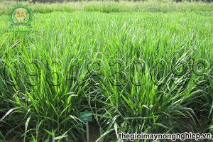 8 loại cỏ phục vụ chăn nuôi hiệu quả nhất