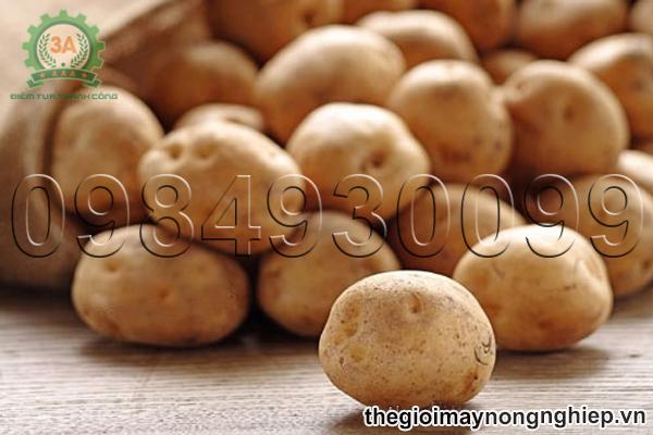 Kỹ thuật trồng khoai tây - Cách chọn giống