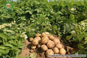 Nắm vững kỹ thuật trồng khoai tây cho vụ mùa bội thu