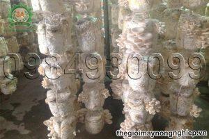 Kỹ thuật trồng nấm sò mang lại hiệu quả kinh tế cao