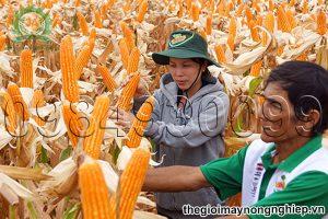 Bật mí 9 kỹ thuật trồng ngô lai cho vụ mùa bội thu