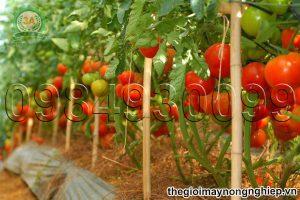 Tiết lộ kỹ thuật trồng và chăm sóc cây cà chua giúp bà con hái ra tiền