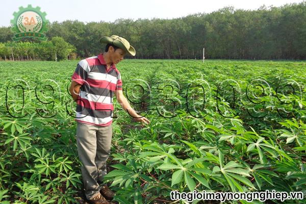 Theo dõi thường xuyên và có chế độ bón phân và chăm sóc cây sắn hợp lý