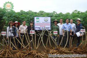 Nắm vững kỹ thuật trồng và chăm sóc sắn để đạt năng suất thu hoạch cao