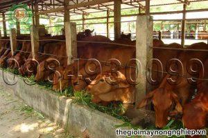 4 kỹ thuật quan trọng giúp nuôi bò nhốt chuồng đạt hiệu quả cao