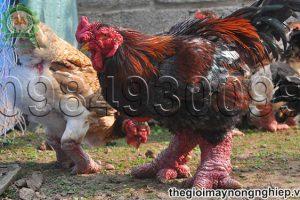 Kỹ thuật chế biến thức ăn cho gà Đông Tảo mang lại hiệu quả cao